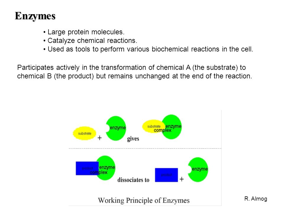 Enzymes Large protein molecules. Catalyze chemical reactions.