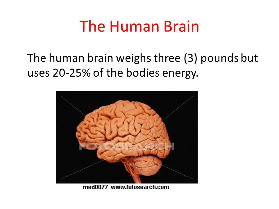 The Human Brain The human brain weighs three (3) pounds but uses 20-25% of the bodies energy.