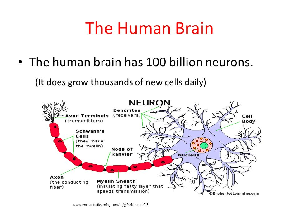 The Human Brain The human brain has 100 billion neurons.