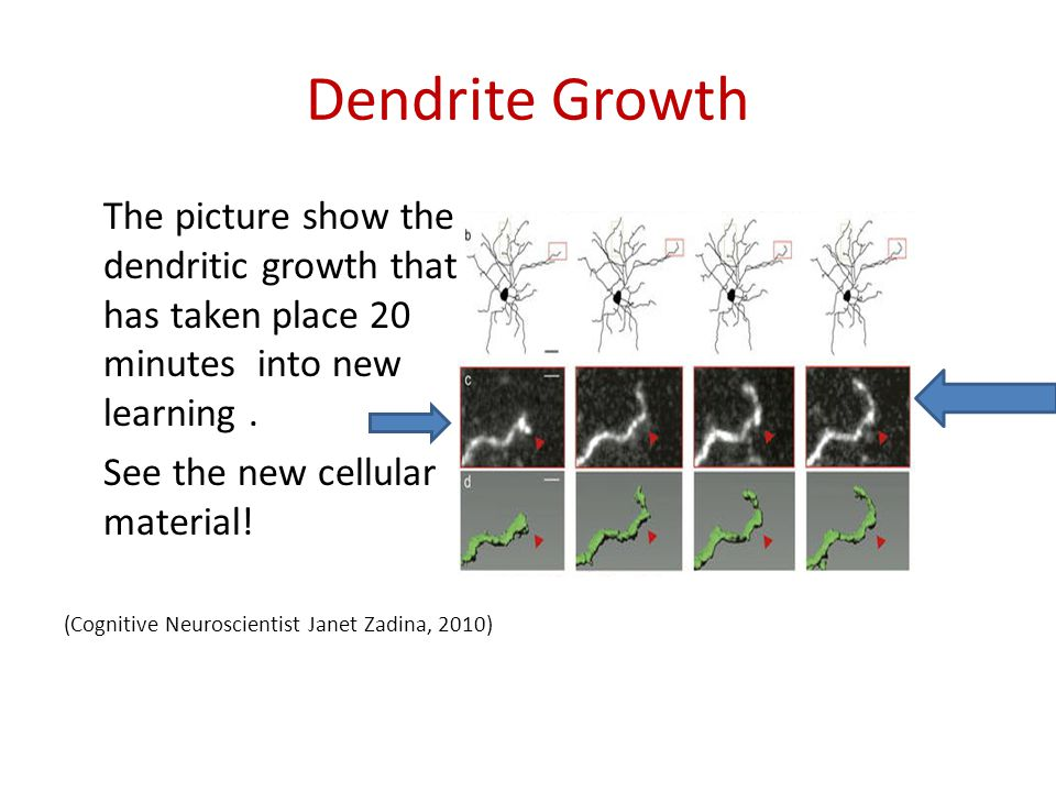 Dendrite Growth The picture show the dendritic growth that has taken place 20 minutes into new learning .