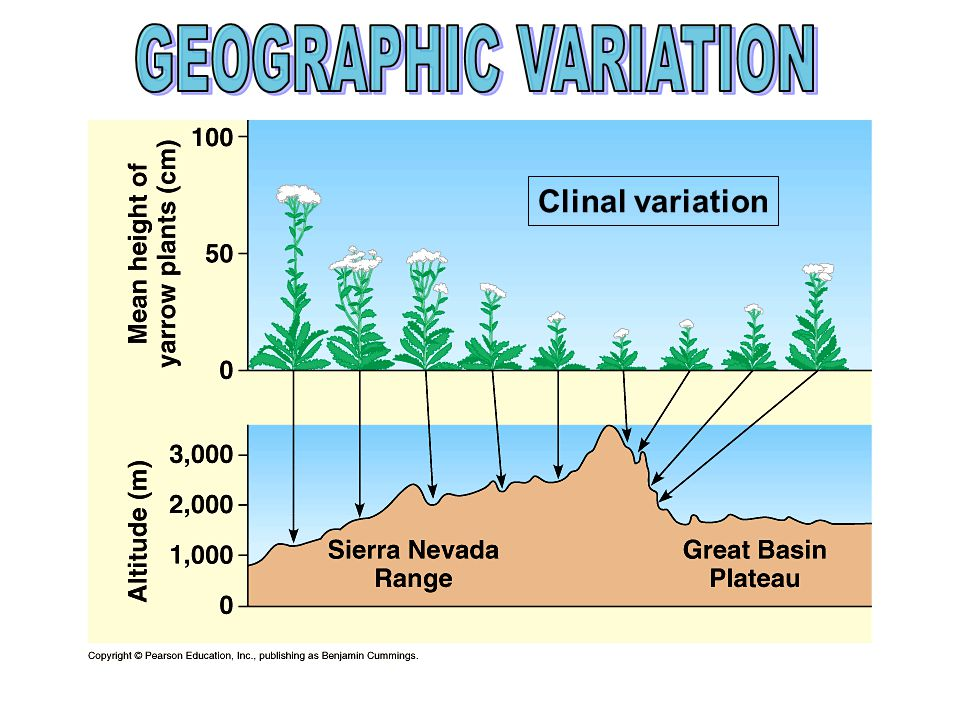 GEOGRAPHIC VARIATION Clinal variation