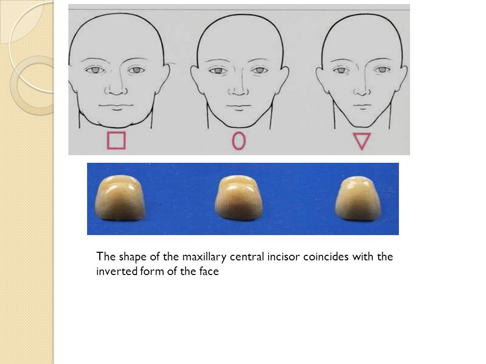 The shape of the maxillary central incisor coincides with the inverted form of the face