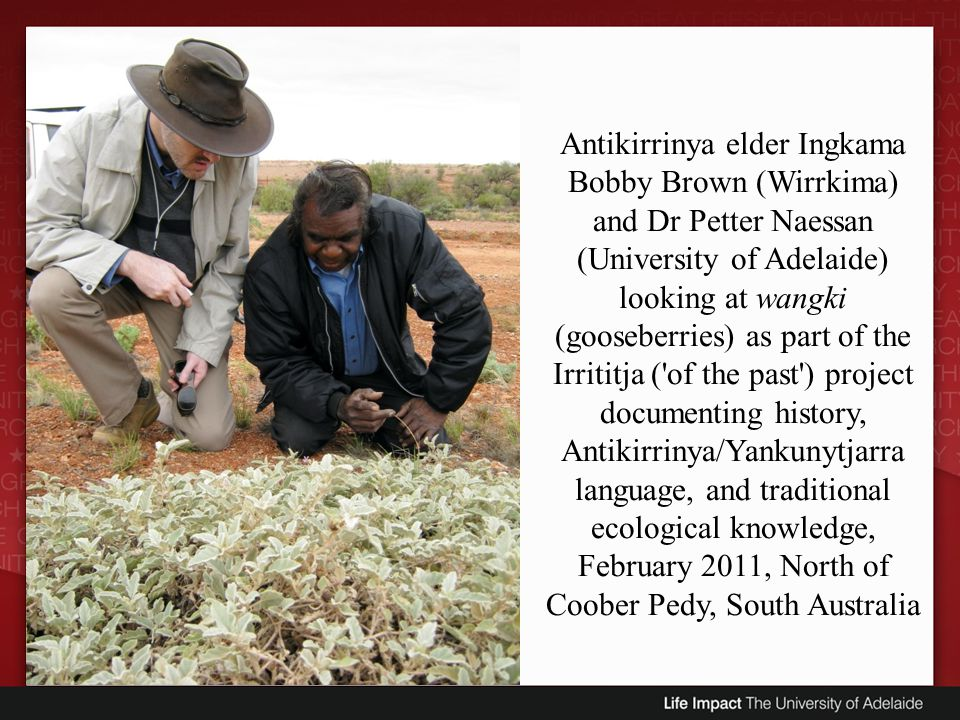 Antikirrinya elder Ingkama Bobby Brown (Wirrkima) and Dr Petter Naessan (University of Adelaide) looking at wangki (gooseberries) as part of the Irrititja ( of the past ) project documenting history, Antikirrinya/Yankunytjarra language, and traditional ecological knowledge, February 2011, North of Coober Pedy, South Australia