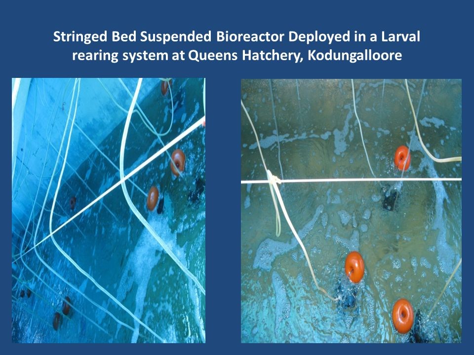 Stringed Bed Suspended Bioreactor Deployed in a Larval rearing system at Queens Hatchery, Kodungalloore