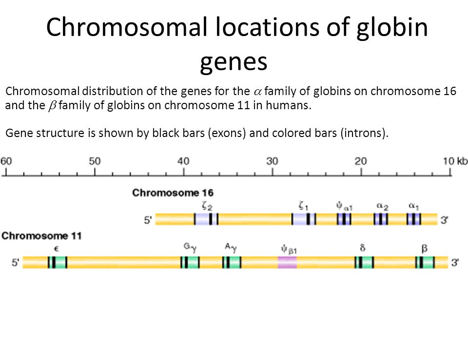 Chromosomal locations of globin genes