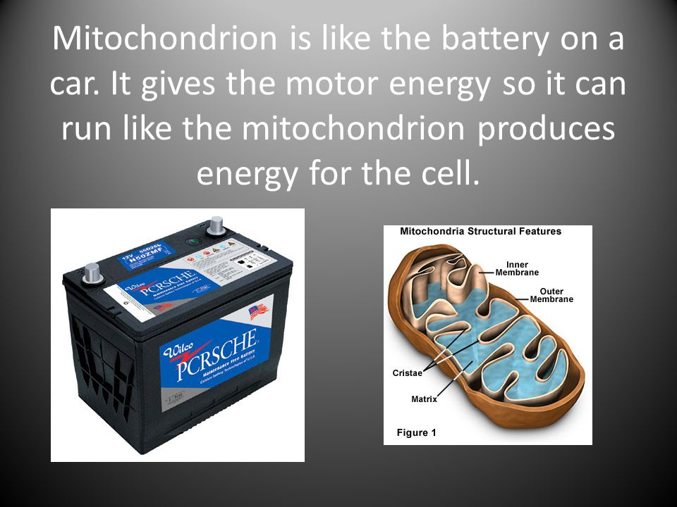 Mitochondrion is like the battery on a car
