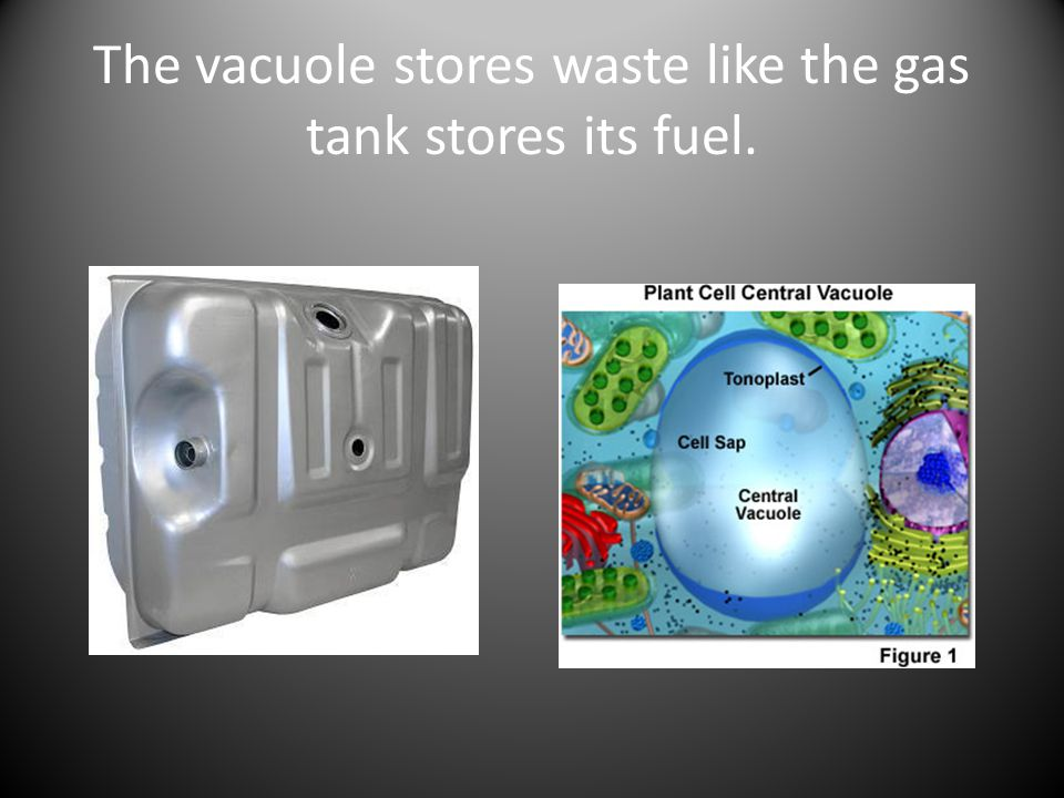 The vacuole stores waste like the gas tank stores its fuel.