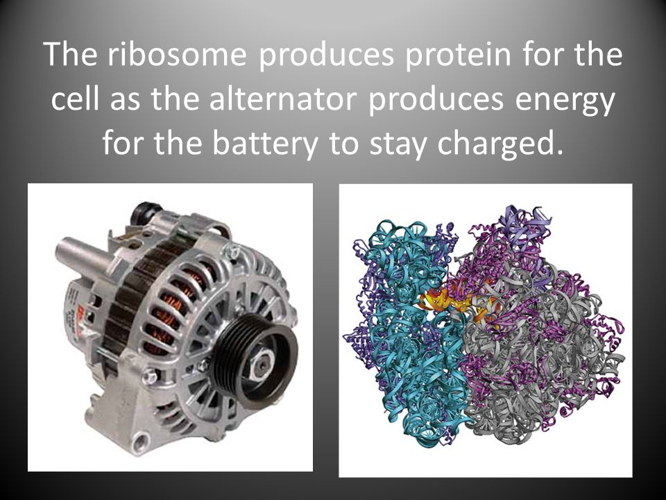 The ribosome produces protein for the cell as the alternator produces energy for the battery to stay charged.