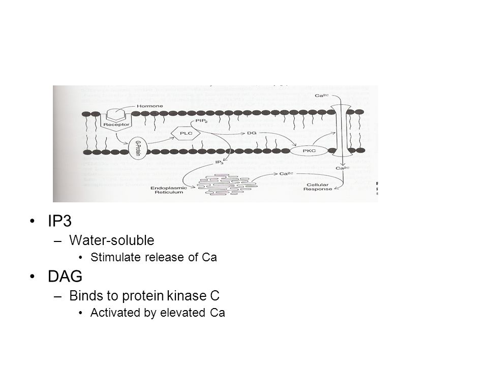 IP3 DAG Water-soluble Binds to protein kinase C
