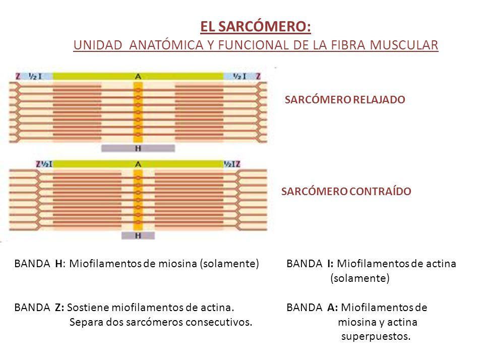 EL SARCÓMERO: UNIDAD ANATÓMICA Y FUNCIONAL DE LA FIBRA MUSCULAR