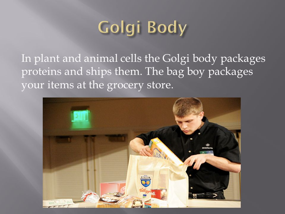 Golgi Body In plant and animal cells the Golgi body packages proteins and ships them.