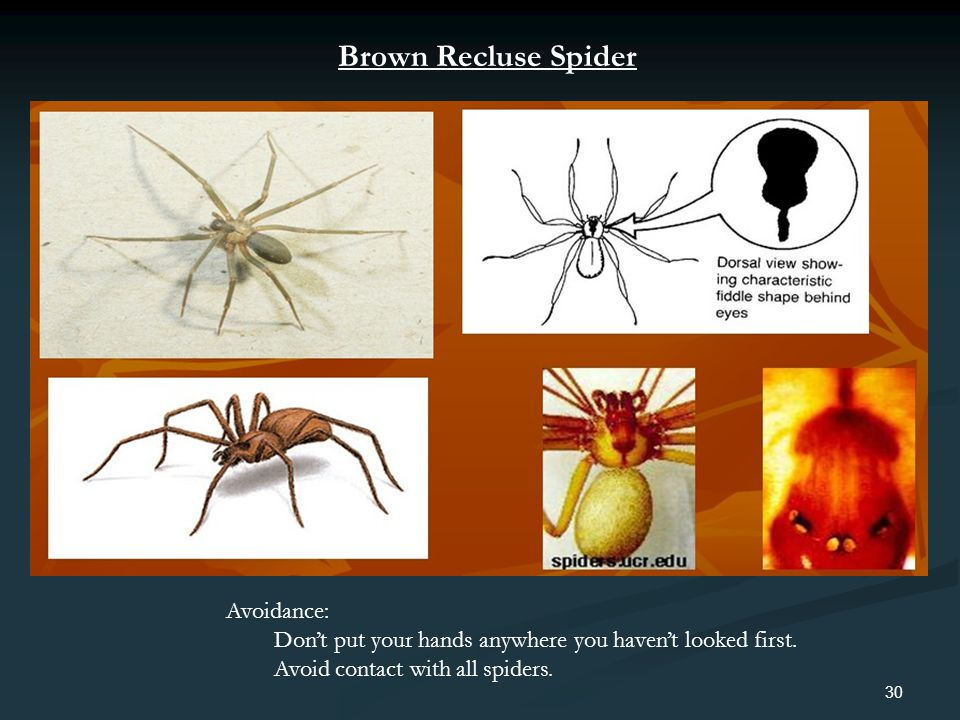 Brown Recluse Spider Avoidance: