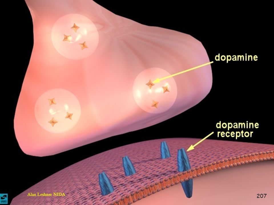 This picture is the end of the axon called the terminal which stores neurotransmitters. Dopamine is one of numerous transmitters that communicate with the receptor site. There is a gap between the terminals called a synapses. This is where all the actions takes place and where drugs have there effects. The receiving receptor is activated when it dopamine is lodged into its site. Once it is activated a electrical impulse is sent down the terminal to be received by another neuron.