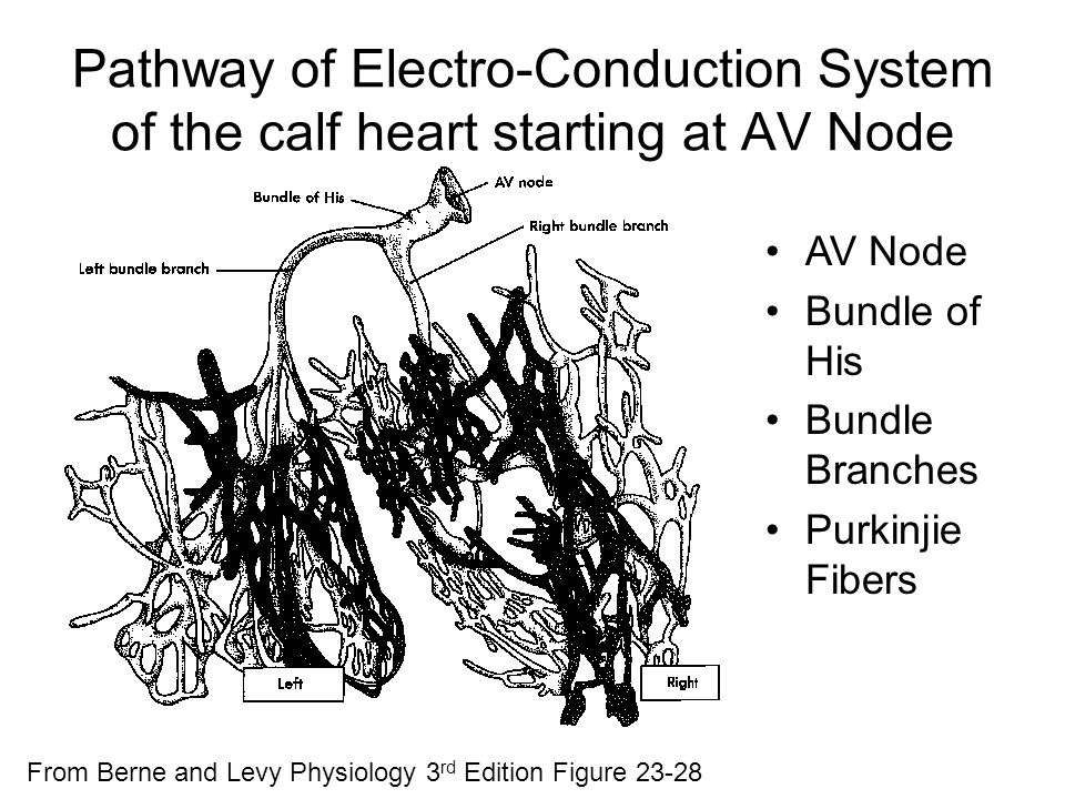 Pathway of Electro-Conduction System of the calf heart starting at AV Node