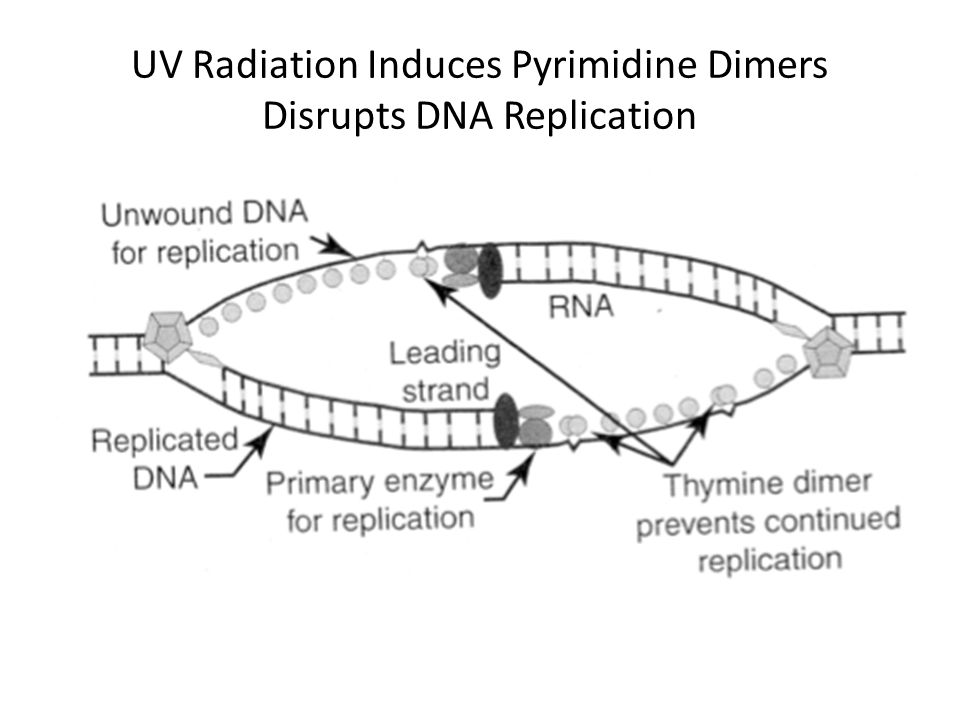 UV Radiation Induces Pyrimidine Dimers Disrupts DNA Replication