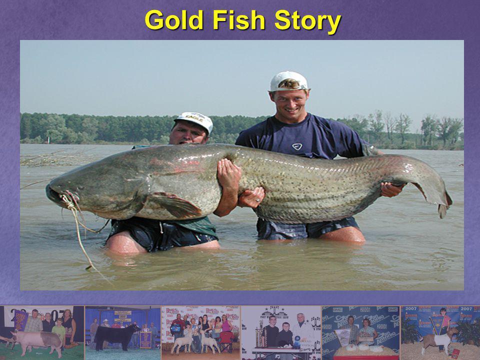 Gold Fish Story