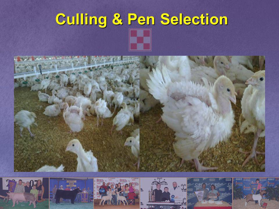Culling & Pen Selection
