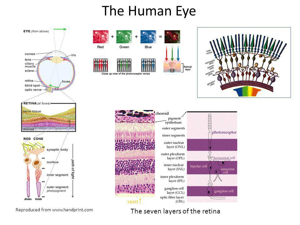 The Human Eye The seven layers of the retina