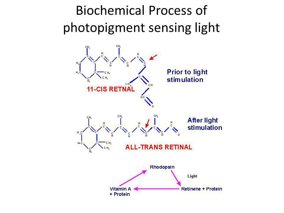 Biochemical Process of photopigment sensing light
