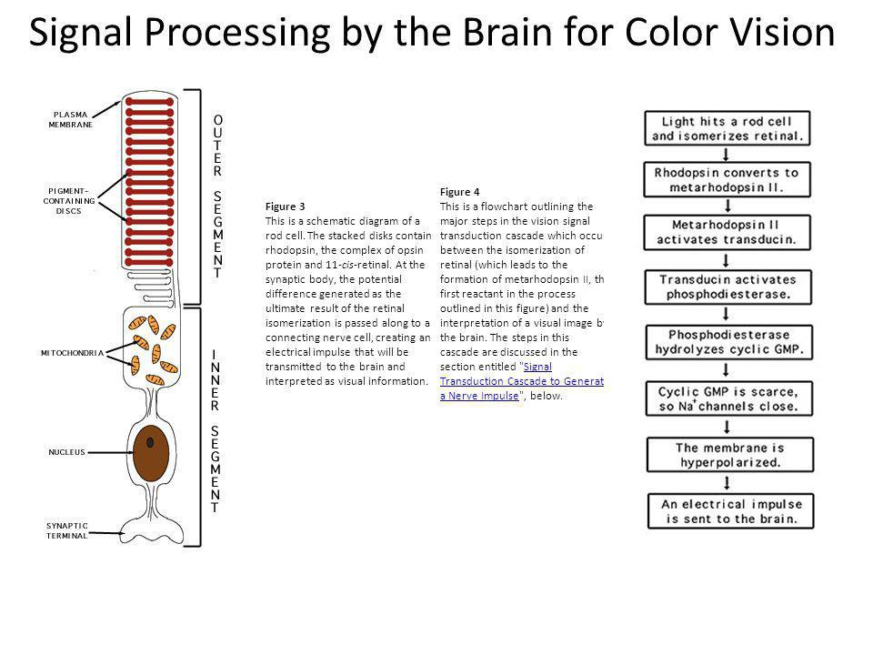 Signal Processing by the Brain for Color Vision