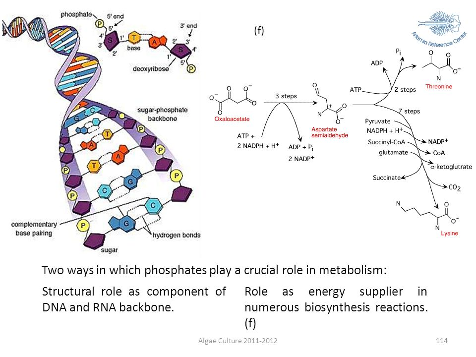 Two ways in which phosphates play a crucial role in metabolism: