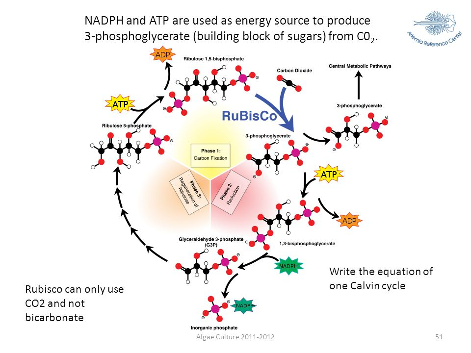 NADPH and ATP are used as energy source to produce