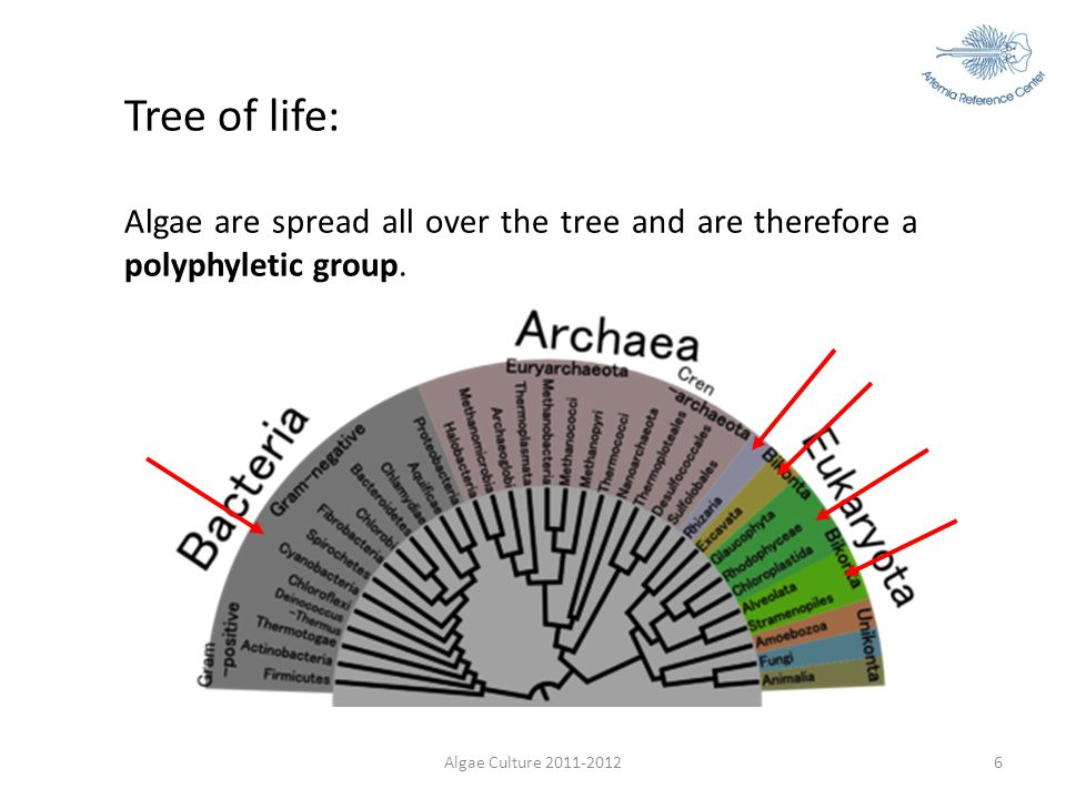 Tree of life: Algae are spread all over the tree and are therefore a polyphyletic group.