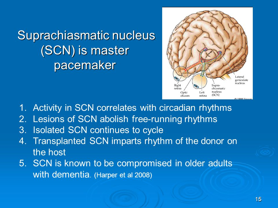 Suprachiasmatic nucleus (SCN) is master pacemaker