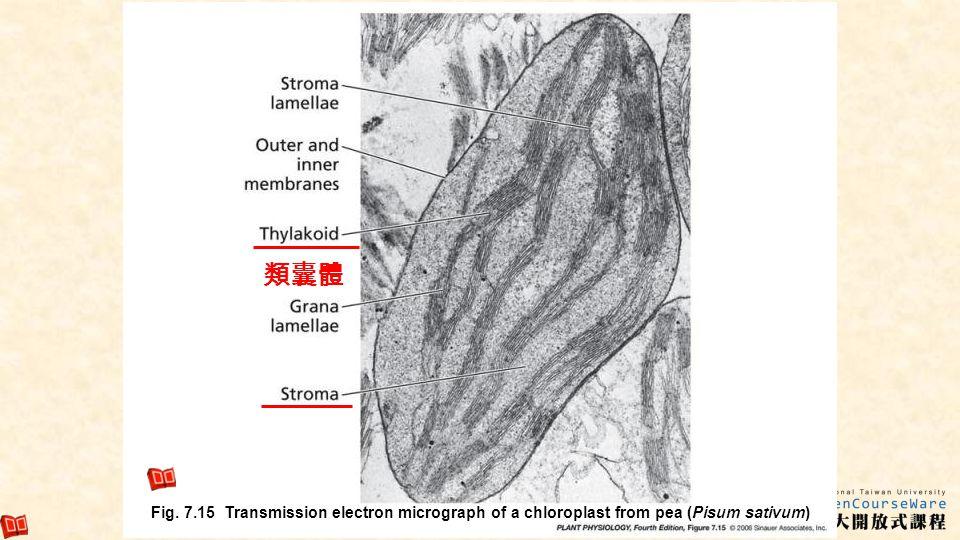 類囊體 Fig.