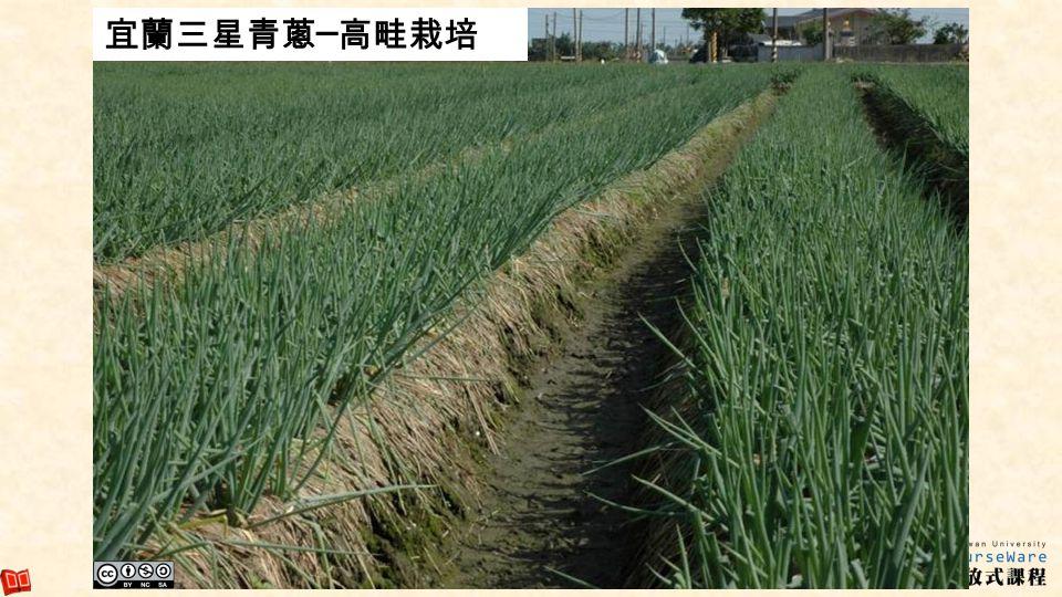 宜蘭三星青蔥─高畦栽培