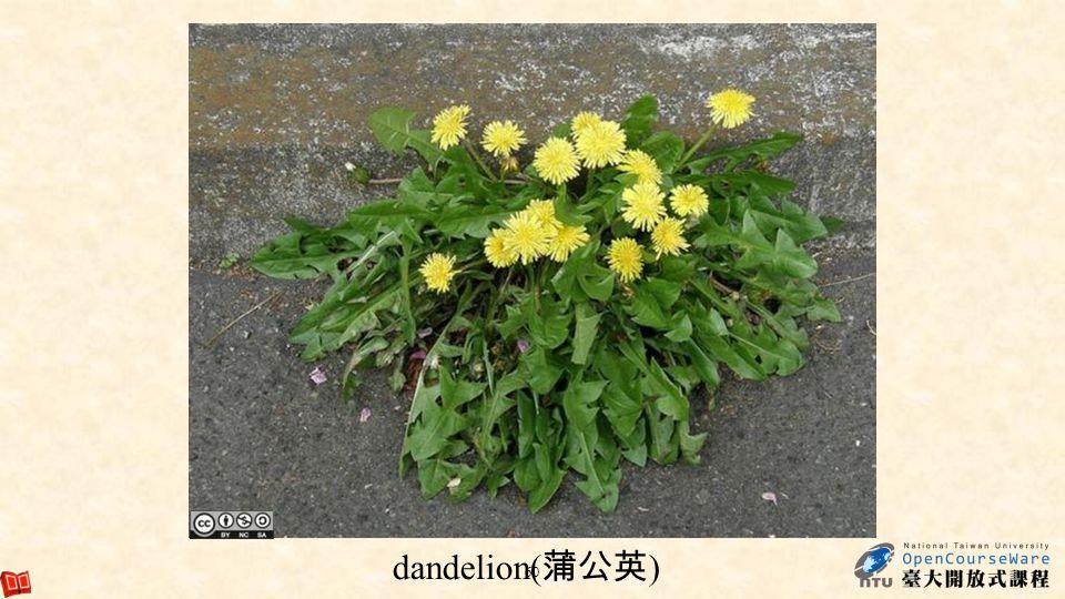dandelion(蒲公英)