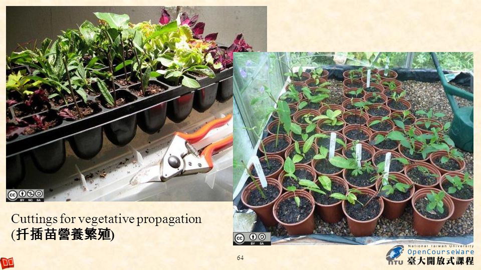 Cuttings for vegetative propagation