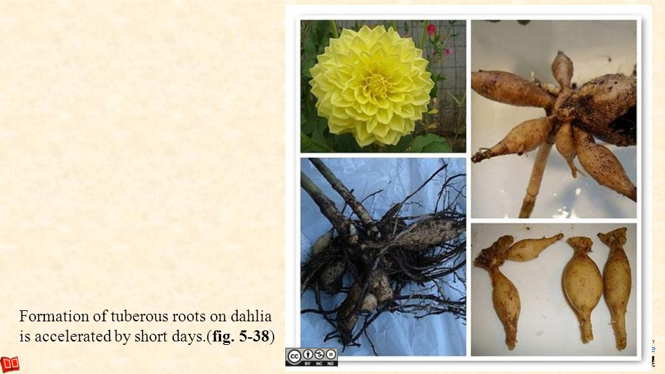 Formation of tuberous roots on dahlia is accelerated by short days