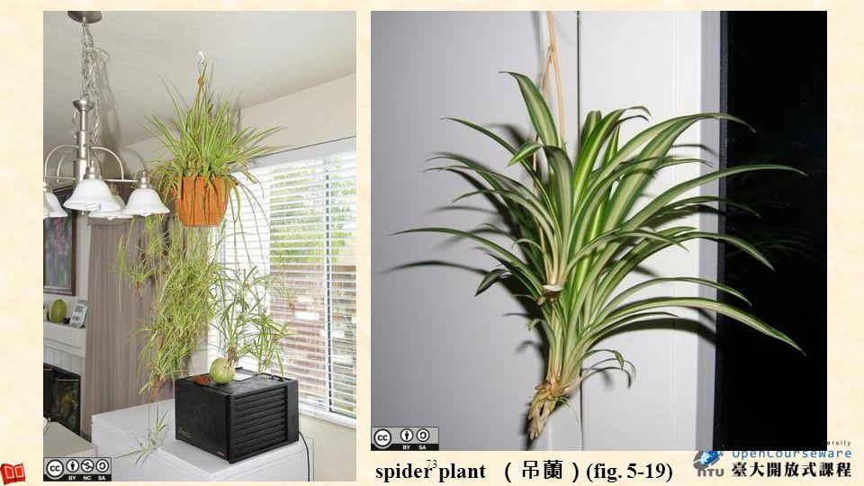 spider plant (吊蘭)(fig. 5-19)