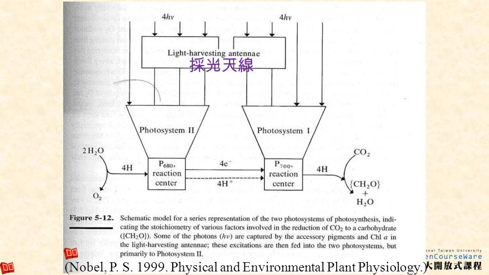 採光天線 (Nobel, P. S. 1999. Physical and Environmental Plant Physiology.)