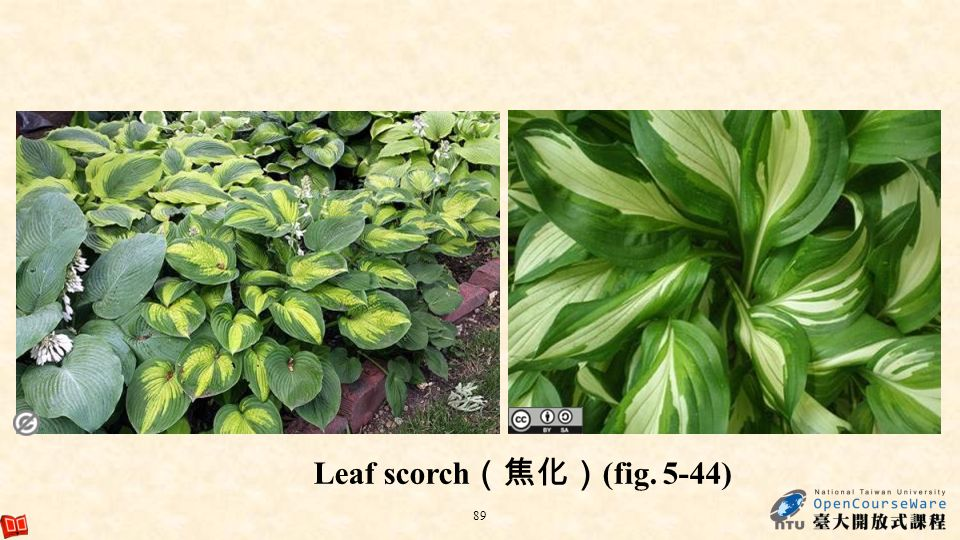 Leaf scorch(焦化)(fig. 5-44)