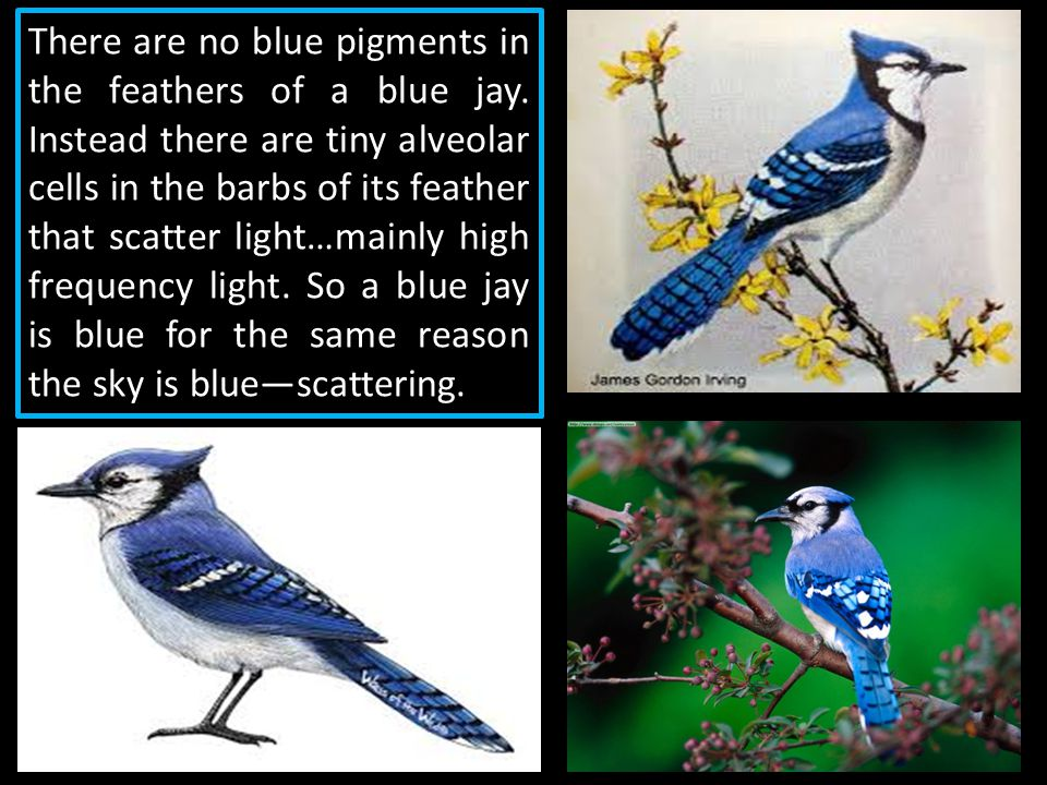 There are no blue pigments in the feathers of a blue jay