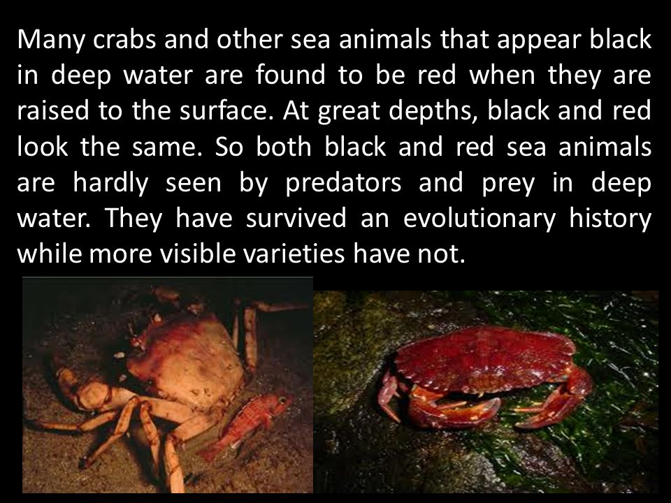 Many crabs and other sea animals that appear black in deep water are found to be red when they are raised to the surface.