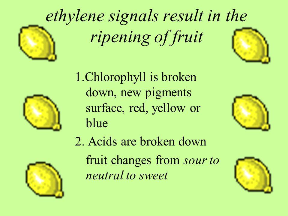 ethylene signals result in the ripening of fruit