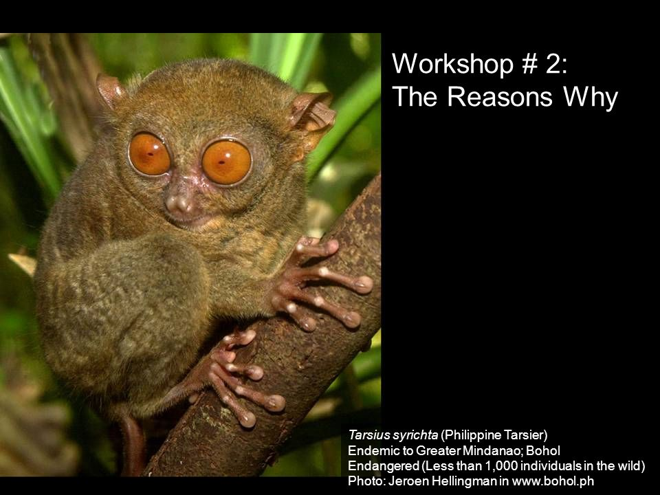 Workshop # 2: The Reasons Why Tarsius syrichta (Philippine Tarsier)