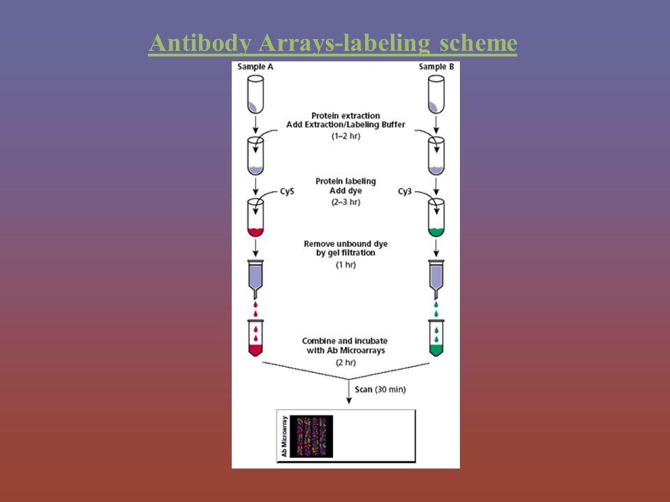 Antibody Arrays-labeling scheme