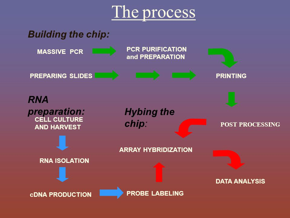 The process Building the chip: RNA preparation: Hybing the chip: