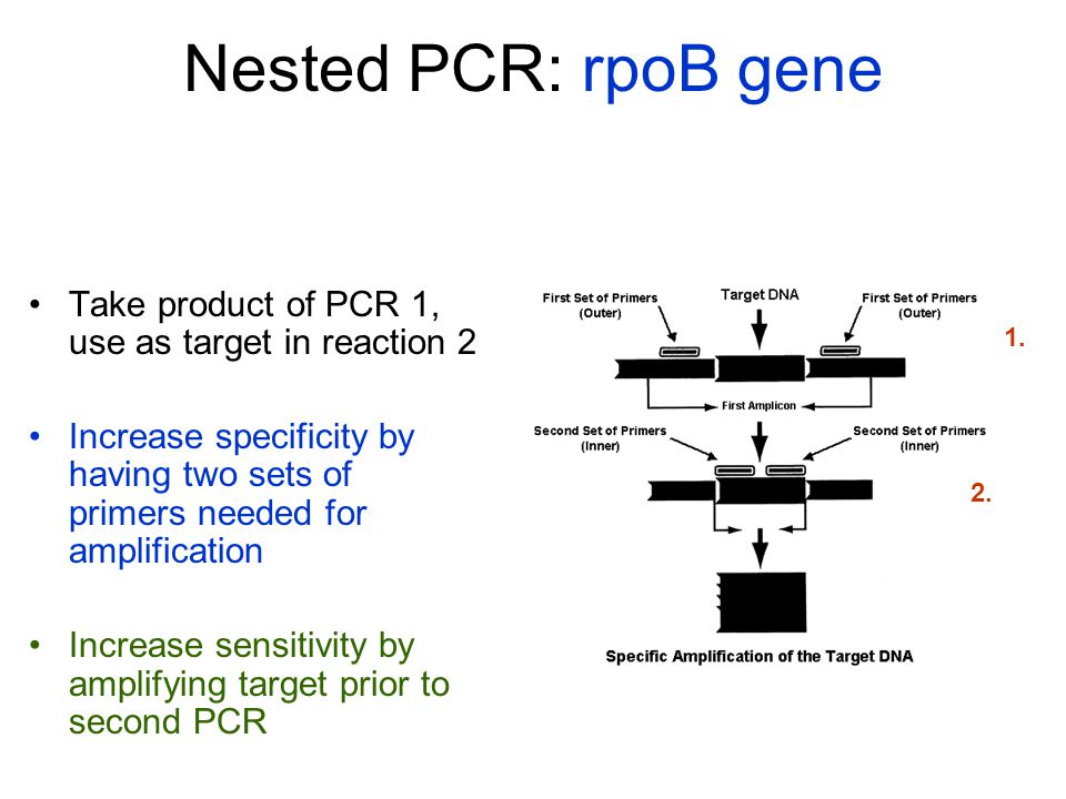 Nested PCR: rpoB gene Take product of PCR 1, use as target in reaction 2.