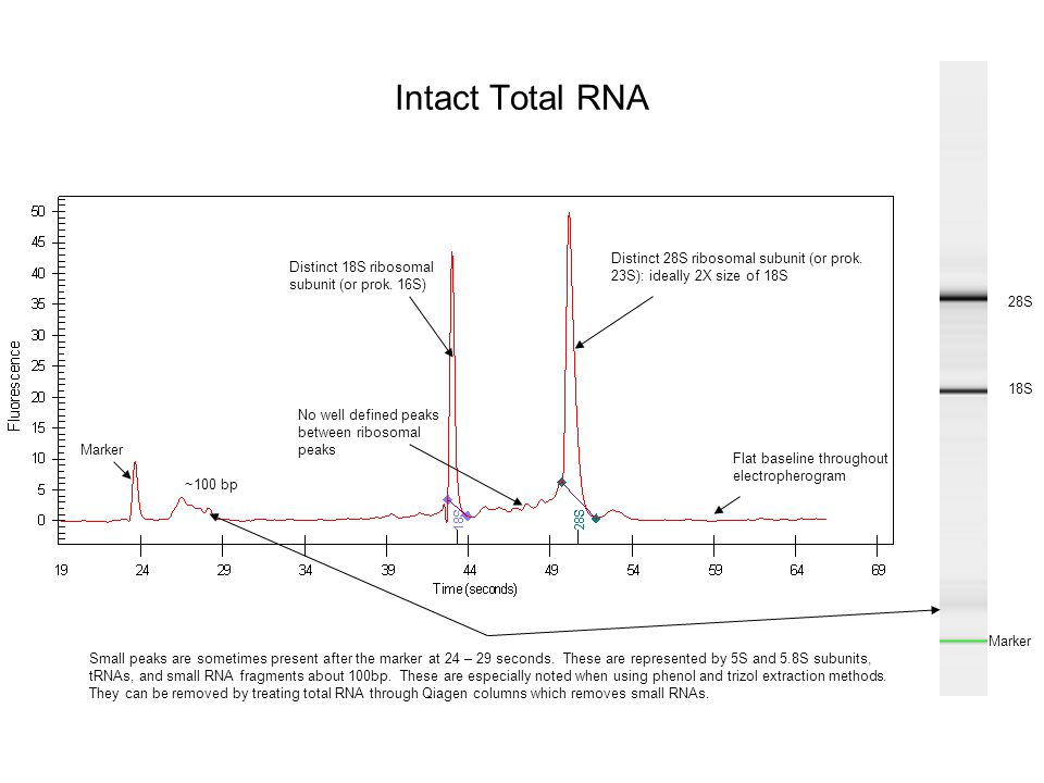Intact Total RNA Distinct 28S ribosomal subunit (or prok. 23S): ideally 2X size of 18S. Distinct 18S ribosomal subunit (or prok. 16S)