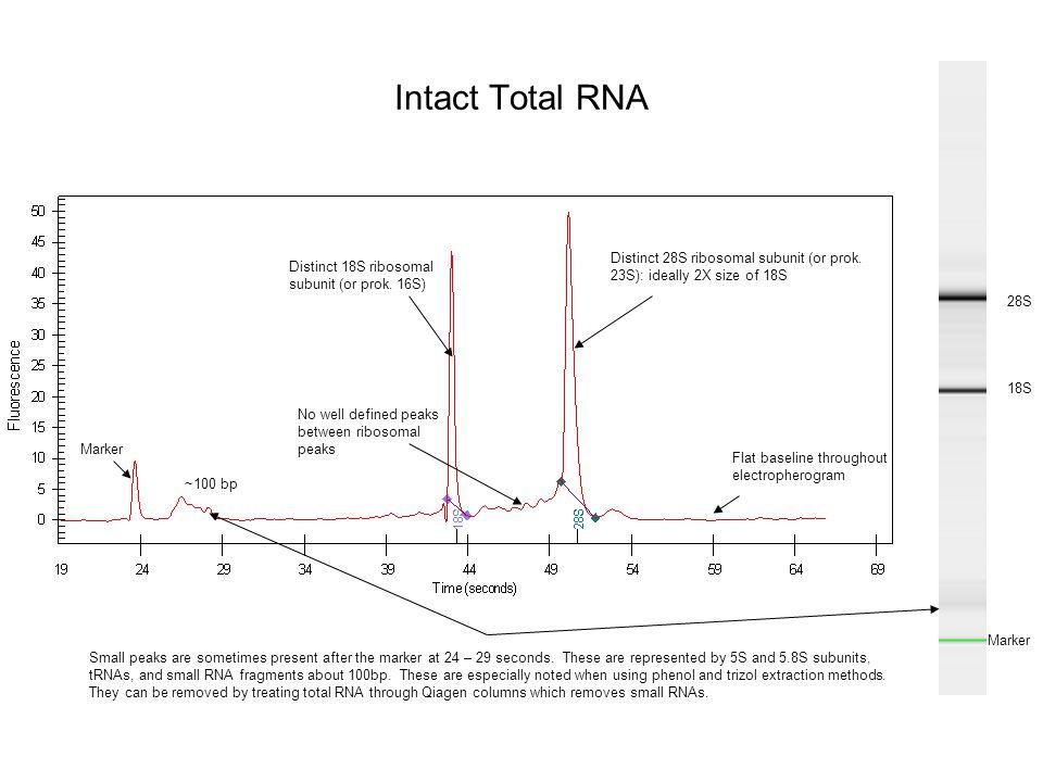 Intact Total RNA Distinct 28S ribosomal subunit (or prok. 23S): ideally 2X size of 18S. Distinct 18S ribosomal subunit (or prok. 16S)