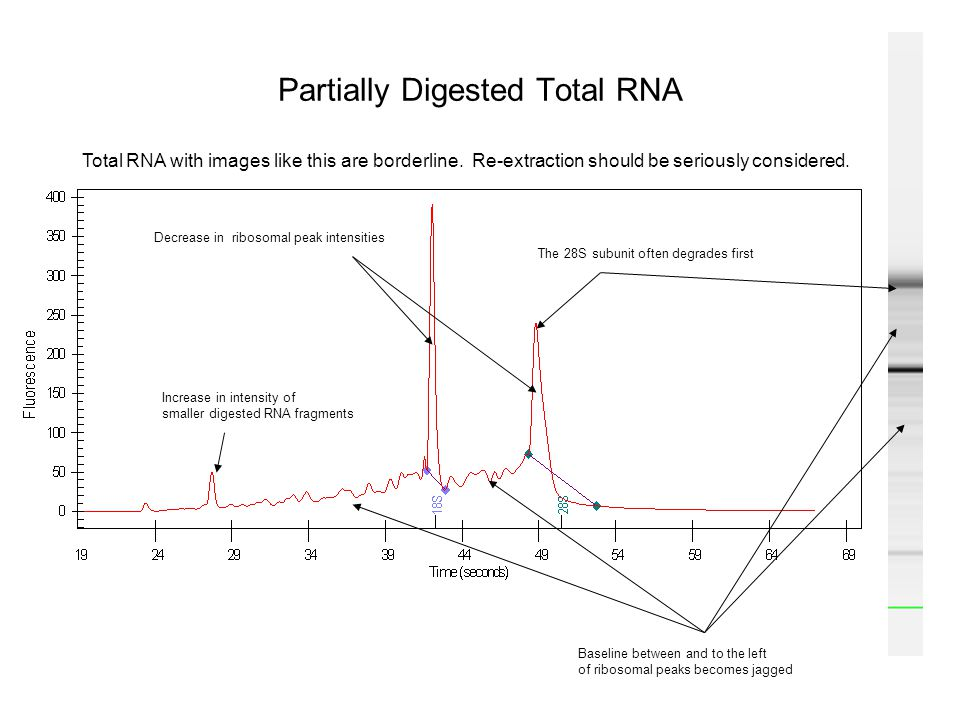 Partially Digested Total RNA