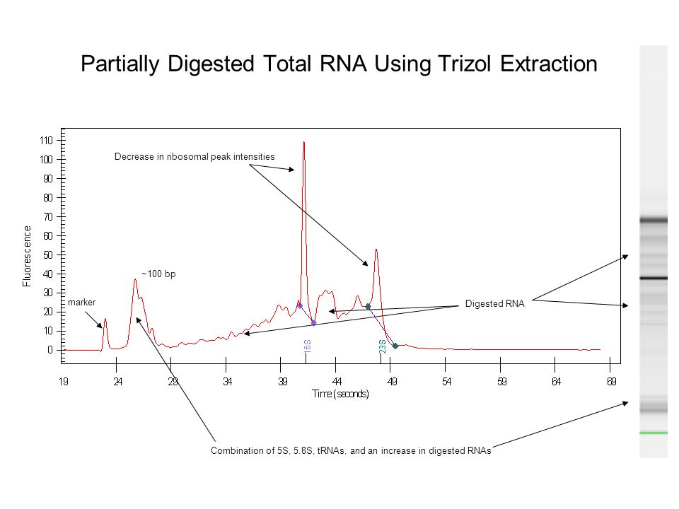 Partially Digested Total RNA Using Trizol Extraction