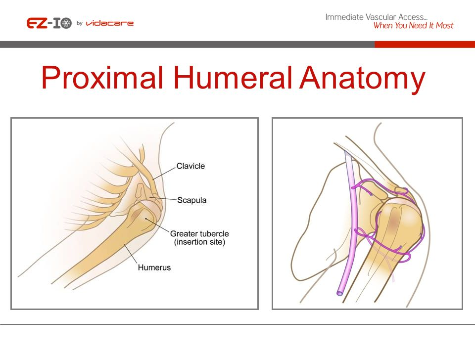 Proximal Humeral Anatomy