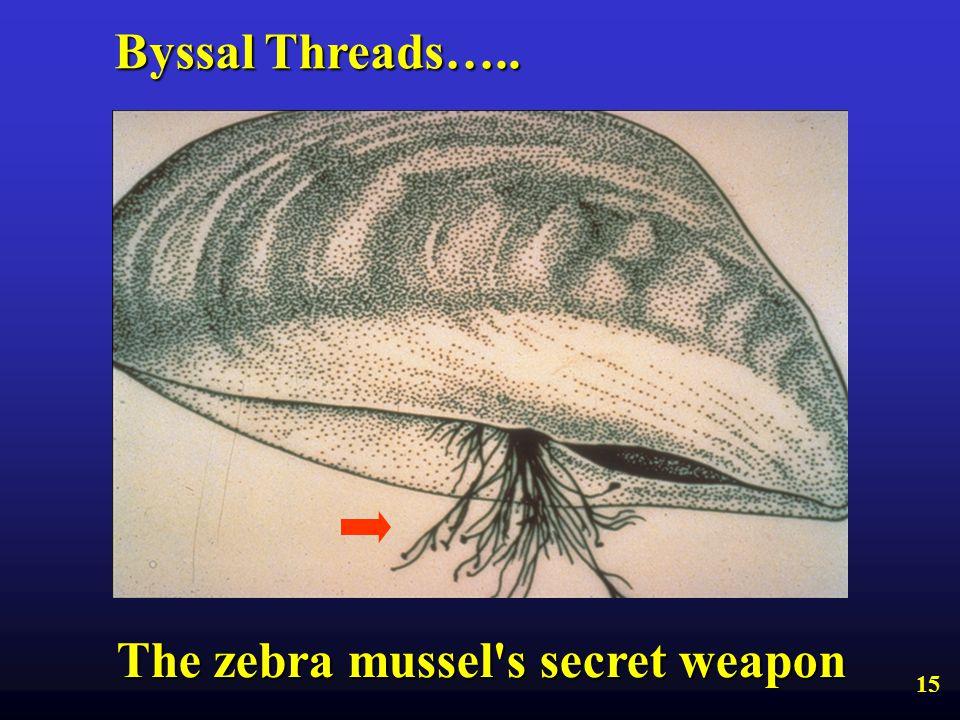 The zebra mussel s secret weapon