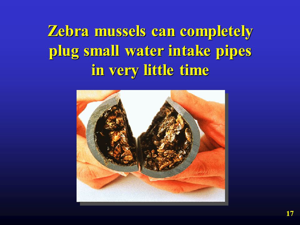 Zebra mussels can completely plug small water intake pipes